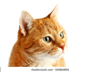 Adult red cat isolated on white background