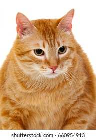 Adult red cat with overweigh isolated on a white background