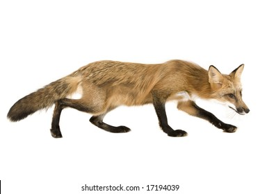 Adult red fox isolated on a white background