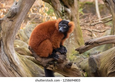 An adult red ruffed lemur sits on a tree, The Netherlands
