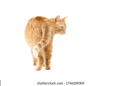 Adult red tabby cat standing isolated on white background