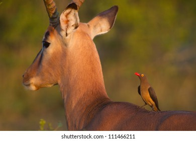 An adult red-billed oxpecker sitting on an adult impala ram's back