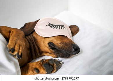 An adult red-haired dachshund is resting in a white bed and wearing pink glasses for sleeping. Dachshund sleeping in bed. Side view.