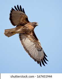 An adult red-tailed hawk flies into the sun on a bright blue sky day