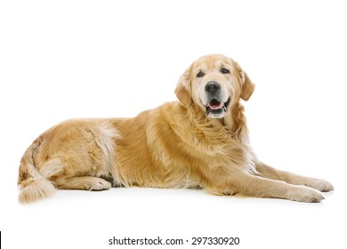 Adult retriever dog lying on floor. Isolated over white background. Copy space.