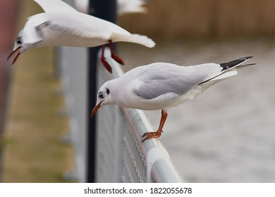 Adult ring-billed gull sits on stick