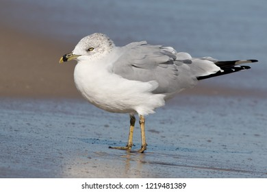 Adult Ring-billed Gull standing on the beach