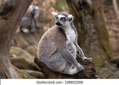 Adult ring-tailed lemur sits on a tree