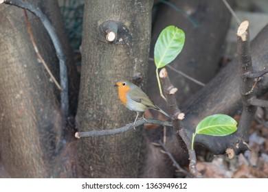 Adult Robin Red Breast (Erithacus rubecula) garden bird on newly pruned laurel tree branch.