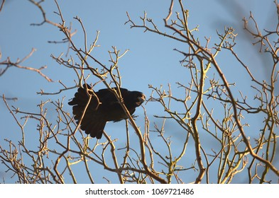 An adult rook bird above is sitting on a branch in the treetop