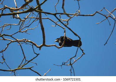 An adult rook bird above is sitting on a branch