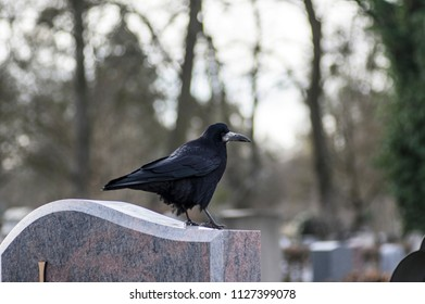 Adult rook on a stone