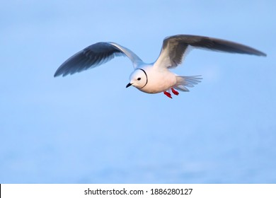 Adult Ross's Gull (Rhodostethia rosea) in breeding plumage flying over the arctic tundra near Barrow in northern Alaska, United States.
