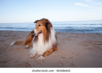 Adult rough Collie enjoying a sunset at the beach