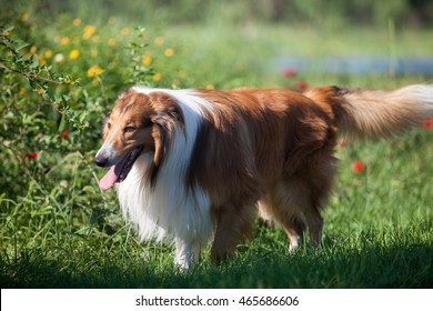 Adult rough Collie playing on the grass