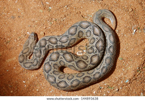 Adult Russells Viper Daboia Russelii Tamil Stock Photo (Edit Now