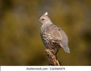 An adult Scaled Quail found perched on the top of a cholla cactus in an arid region of southern Colorado.