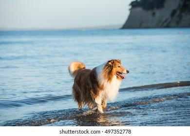 Adult Scottish Shepherd Dog Playing at the Seaside