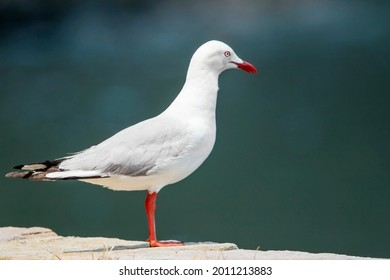 Adult Seagulls have bright red beaks. The brighter the red, the older the bird.
