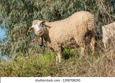Adult sheep grazing with its cowbell hanging from its neck