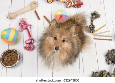 Adult shetland sheepdog seen from above looking up with on the floor all kinds of doggy stuff like bones, toys and food