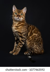 Adult shiny male with green eyes bengal cat sitting side ways and looking straight in camera isolated on black background