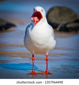 Adult Silver Gull begging for food. Australia's most common gull asking for food with open mouth.