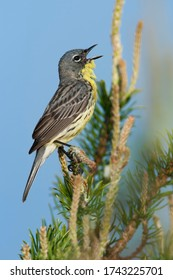 Adult singing male Kirtland's Warbler () in Ogemaw County, Michigan, USA. Also known as Jack pine Warbler.