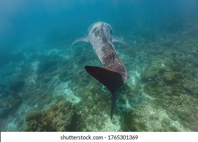 Adult sized whaleshark (Rhincodon typus) swimming gracefully close to the bottom of the reef.