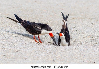 Adult skimmers nesting on the beach in Florida