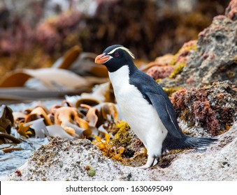 Adult Snares Penguin (Eudyptes robustus) standing on a rock at the water edge on The Snares, a subantarctic Island group south off New Zealand.