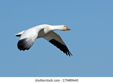 An adult snow goose flies through the blue sky as the sun reflects off of its white plumage.
