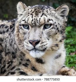 Adult snow leopard close up portrait.