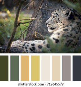 Adult snow leopard resting in the undergrowth In a colour palette with complimentary colour swatches.