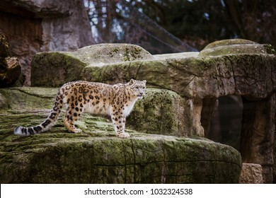 An adult snow leopard stands on a stony ledge in the Basel Zoo in Switzerland. Cloudy weather in winter.