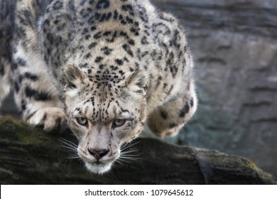 An adult snow leopard stealthily pounces from a rocky ledge. This threatened species is indigenous to Central and South Asia.