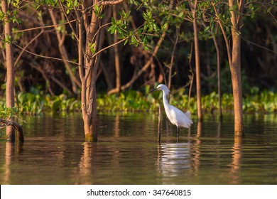 An adult Snowy Egret (Egretta thula) standing in water amongst flooded forest trees, Pantanal, Brazil