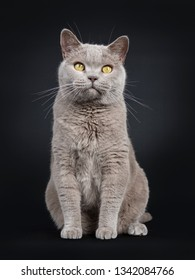 Adult solid lilac British Shorthair cat sitting up facing front, looking  above lens with yellow eyes. Isolated on black background.
