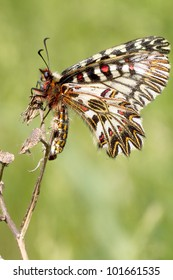 an adult of Soutern festoon butterfly resting - seen ventraly / Zerynthia polixena