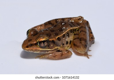 Adult southern leopard frog in Mississippi