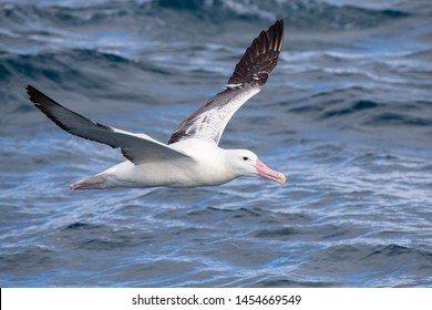 Adult Southern Royal Albatross (Diomedea epomophora) flying over the waves of the Southern pacific ocean of subantarctic New Zealand.