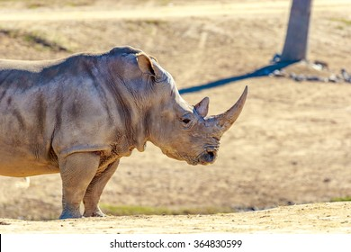 Adult southern white rhinoceros roaming on the dry land.