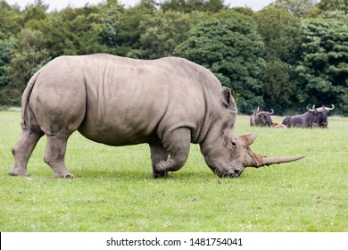 Adult species of African White Rhino
