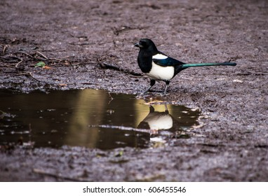 An adult specimen of magpie while is drinking in a puddle after a morning rain