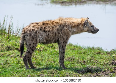 An adult Spotted Hyena standing on a riverbank in Southern African savanna