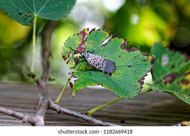 An adult Spotted Lanternfly (Lycorma delicatula) on a Tree of Heaven (Ailanthus altissima) at the Green Lane Reservoir in Montgomery County, Pennsylvania.