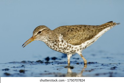 Adult Spotted Sandpiper, Actitis macularius) standing in shallow water  in Galveston County, Texas, United States.