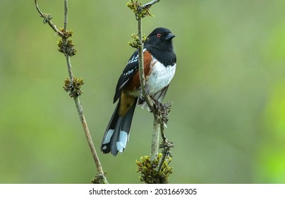 Adult spotted towhee (Pipilo maculatus) perched on a twig