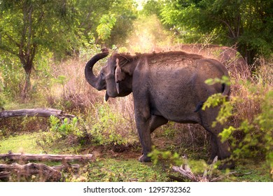 An adult Sri Lankan Elephant (Elaphas maximus maximus) showering itself in dust early in the morning to protect itself from the harmful sunrays and parasites in Udawalawe National Park, Sri Lanka.