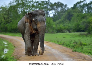 Adult Sri lankan elephant on the road. Sri Lankan elephant (Elephas maximus maximus). Yala National Park. Sri Lanka